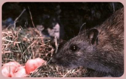 pinky rats