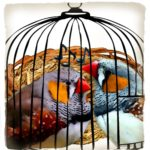 Finches found in hair curlers:  trafficked to sing,  or to fight?
