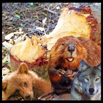 Beavers gnaw way toward wolf, grizzly & economic recovery in the Cascades