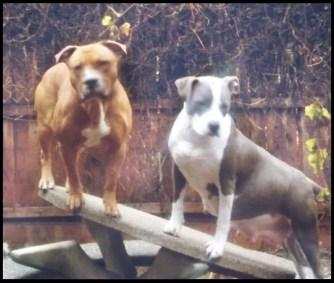 Romeo & Angel pit bulls