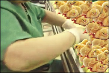 Woman sorting chicks