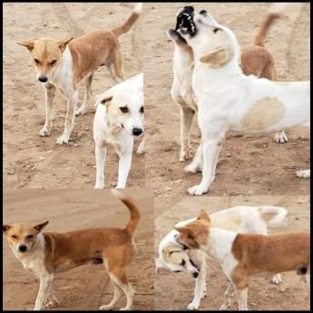 Kenya street dogs