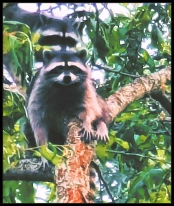 Two raccoons in an apple tree.