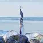 Watchable wildlife species often seen at Hidden Beach