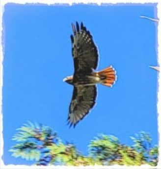 Red-tailed hawk by Beth Clifton   ANIMALS 24-7