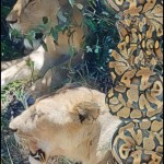 Lions and rock pythons