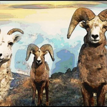 Wyoming trophy hunters blame mountain goats for lack of bighorn