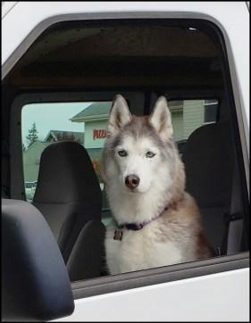 Husky in car.