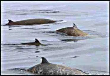 Cuvier's beaked whale stranding