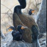 Ontario allows hunters to kill 50 cormorants a day