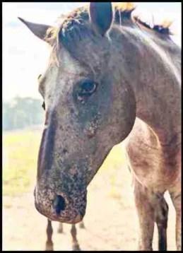Chinook the stallion at Sacred Way Sanctuary