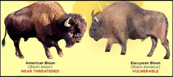 American and European bison
