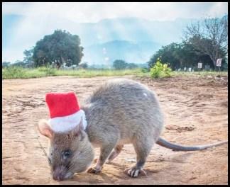 APOPO HeroRat celebrates Christmas.