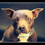 Pit bulls killed 24,000 other dogs & 13,000 cats in 2015