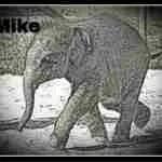 Ringling elephant dies of herpes