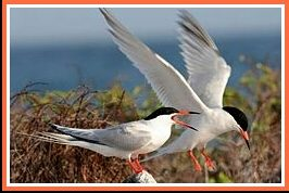 Roseate terns. (Wikipedia photo)