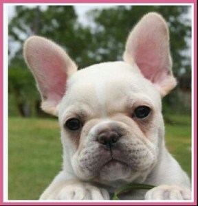 French bulldog. (Craigslist photo)