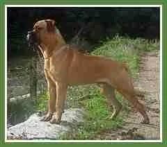 Bull mastiff (Wikipedia photo)