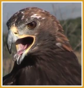 Golden eagle. (National Park Service photo)