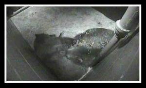 WSU Bear Center hibernation chamber. (WSU photo)