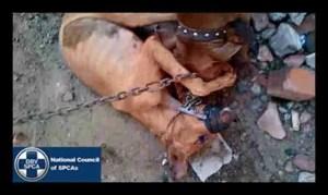 NSPCA dogfighting #3