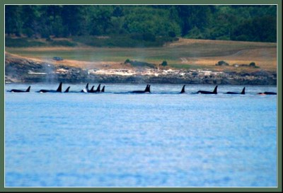 Orcas in Penn Cove. (NOAA photo)