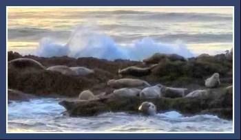 Harbor seals on rocks. (Beth Clifton photo)