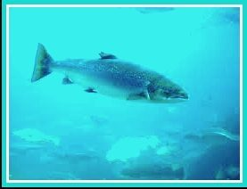Scottish salmon. (Wikipedia photo)