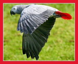 African grey parrot. (Flickr photo)