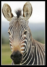 Cape Mountain zebra. (Flickr photo)