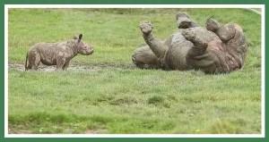 Baby & mama rhino. (Johnny Rodrigues/Zimbabwe Conservation Task Force)