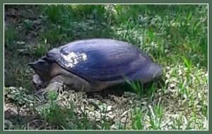 Softshell turtle. (Dave Pauli photo)