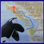 NOAA suspends satellite-tagging orcas after death of whale L95