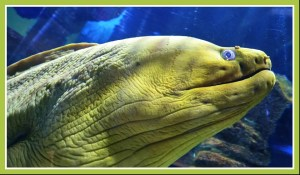 Moray eel––not actually named after the Moray Firth, but known to live there. (Beth Clifton photo)
