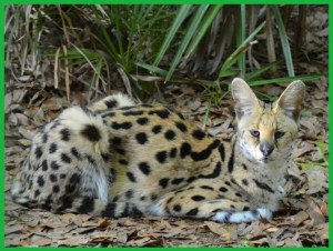 Serval at Big Cat Rescue. (Beth Clifton photo)