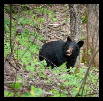 Black bear. (Ed Boks photo)
