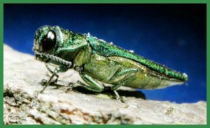 Emerald ash borer. (Michigan State University photo)