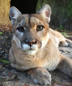 Puma (Big Cat Rescue photo)