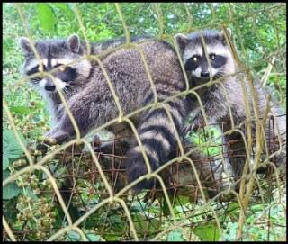 Raccoon family invades our home
