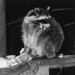 Rehabilitating raccoons