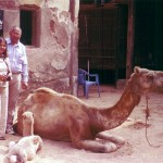 High Court of Madras rules against camel slaughter