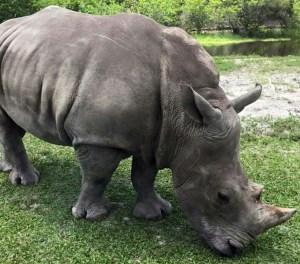 Asian rhino. (Trish Conner photo)