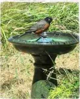 Robin bird in a birdbath