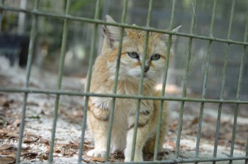 Sand cat at Big Cat Rescue. (Belt Clifton photo)