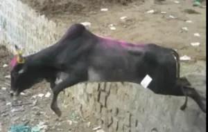 Bull runs away from jallikattu event. (From YouTube video)