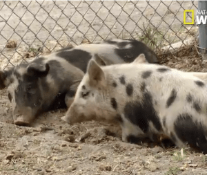 Cesar Millan's pigs keep a wary eye on Simon the French bulldog.