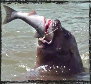 Sea lion eats a salmon