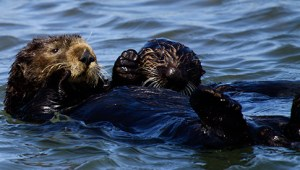 California sea otters. (U.S. Fish & Wildlife Service photo)