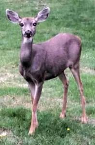 Standing deer