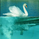 """New York delays """"final solution"""" for mute swans"""